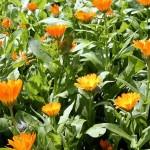 Calendula: Calendula Officinalis