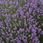 Lavender: Lavandula Angustifolia