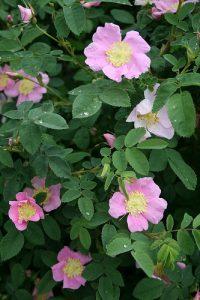 Wild Rose: Rosa Nutkana
